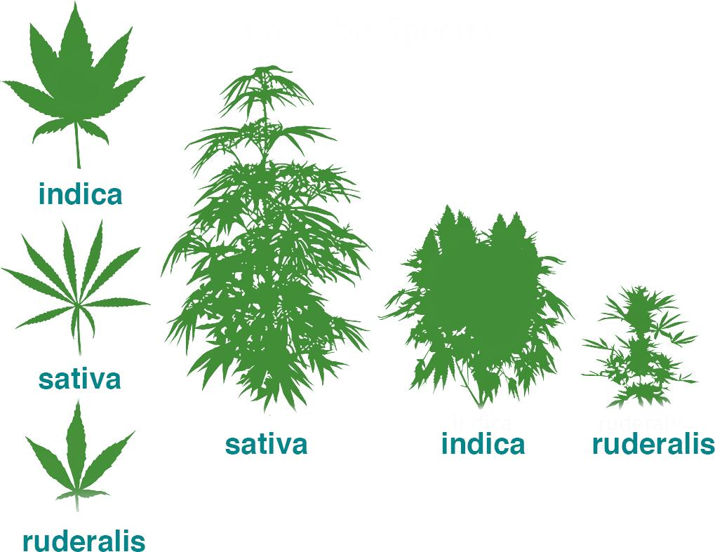 Differences between Indica, Sativa and ruderalis